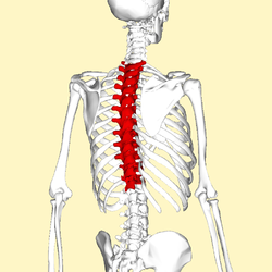 Thoracic_vertebrae_back